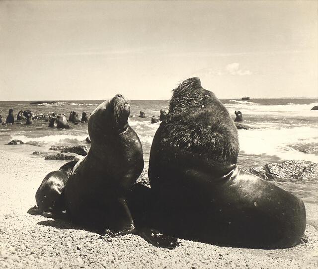 Mandello - Isla de las Focas