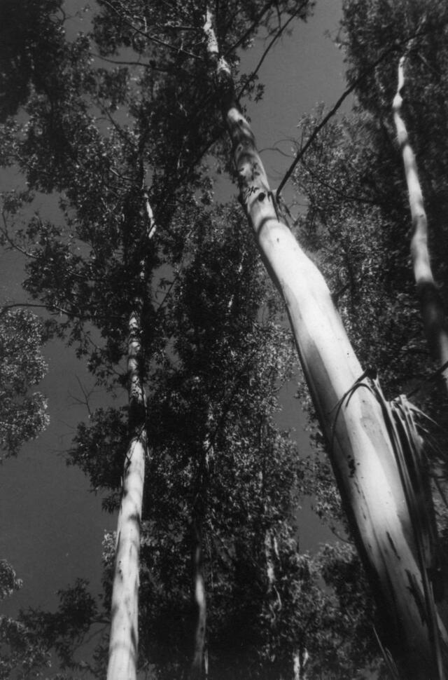 """""""Eucaliptus (Punta del Este),"""" 1950"""